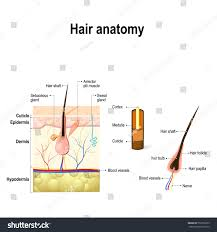 anatomy of hair follicle choice image learn human anatomy image