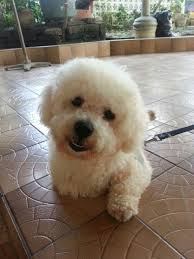 bichon frise whining 577 best bichons like my bonnee images on pinterest bichons
