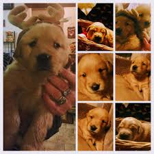 belgian sheepdog for sale in michigan puppies for sale classified ads dogs for sale classifieds