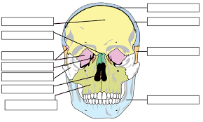 Anatomy And Physiology Labeling Label The Bones Of The Skull