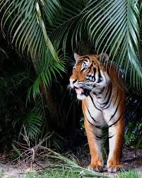 a tiger in the jungle tigr tigers and cat