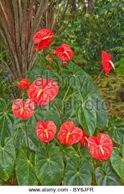Hilo Flowers - anthurium hilo island of hawaii stock photo royalty free image