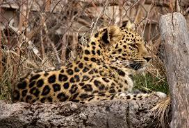 officials tranquilize capture leopard that escaped at hogle zoo