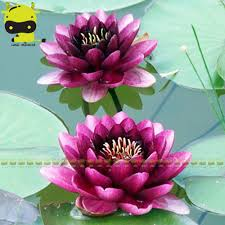 compare prices on variety lotus flower online shopping buy low