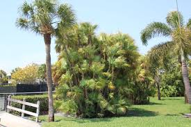 the everglades palm in your backyard uf ifas extension charlotte