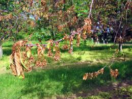 european brown rot blossom blight outbreak on montmorency tart