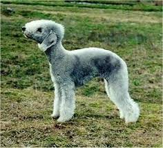 bedlington terrier guide bedlington terrier dog breed information and pictures