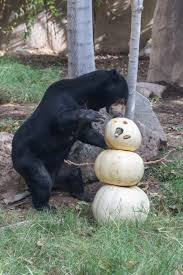 oldest malayan sun bear in captivity euthanized at reid park zoo