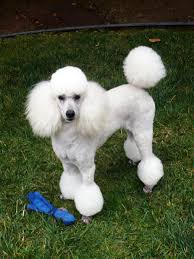 different toy poodle cuts huxtable the poodle toy poodle blog parti poodle parti poodle
