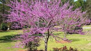 cercis forest pansy beauty how and where to grow youtube