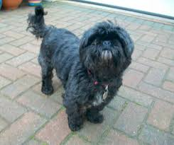 affenpinscher for sale near me dogs available for adoption or fostering