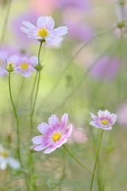 Cosmos Flower Essence - cosmos flowers flowers pinterest cosmos flowers cosmos and