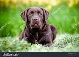 afghan hound and labrador retriever chocolate labrador retriever puppy stock photo 109634867