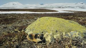 bbc earth the truth about norwegian lemmings