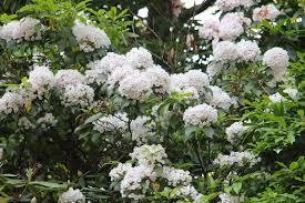 kalmia latifolia gardening and gardens mountain laurel