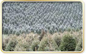 western north carolina christmas tree farms choose and cut