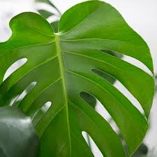 Green Plants Indoor Plants Nyc Office And House Plant Delivery Service In New