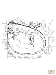 78 gecko or iguana coloring page iguana coloring pages