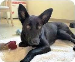 australian shepherd x kelpie pia adopted dog 3886926 boca raton fl australian kelpie