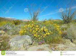 ocotillo blossoms in springtime desert at coyote canyon anza