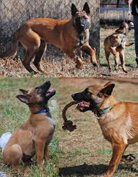 belgian malinois for sale police k 9 puppies sold belgian malinois puppies ruidoso malinois