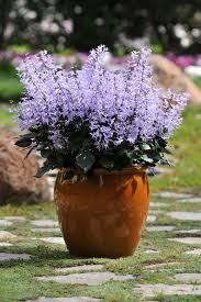 Fragrant Potted Plants Mona Lavender Hgtv
