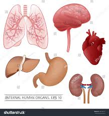 Human Anatomy Liver And Kidneys Internal Human Organs Liver Lungs Heart Stock Vector 403182751