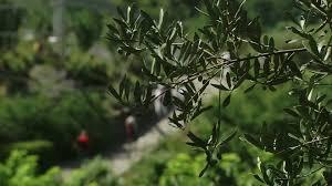 olive tree branch italy hd stock 234 536 838 framepool