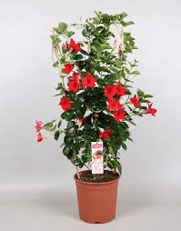 sundaville red world u0027s no 1 mandevilla dipladenia
