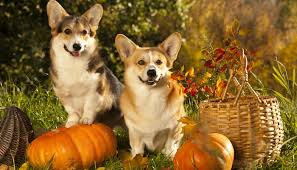 thanksgiving with dogs 20 dos and don ts for pet parents