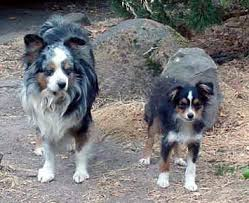 australian shepherd growth chart what is a toy aussie