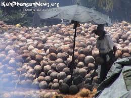 coconut impressions of koh phangan island koh phangan island news