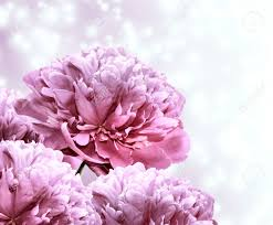 The Pink Peonies by Bouquet Beautiful Pink Peonies On The Abstract Background Stock
