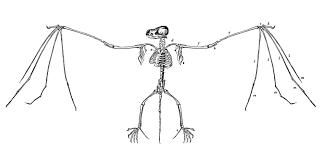 Halloween Bat Stencil Free Printable by Vampire Bat Anatomy Images Learn Human Anatomy Image