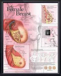 Female Breast Anatomy And Physiology 8 Best Breastfeeding U0026 Lactation Images On Pinterest