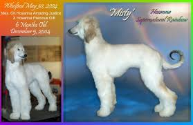afghan hound sale afghan hound puppies for sale cute monkey whiskers afghan hound