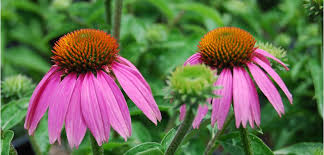 Echinacea Flower Coneflower Costa Farms