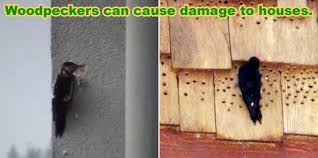How To Keep Pests Away From Garden - how to keep woodpeckers away and off your house