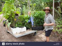 wheel shaped flower buds of stenocarpus sinuatus queensland rainforest trees plants native stock photos u0026 rainforest trees