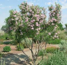 Texas Landscape Plants by Drought Tolerant Plants For Dry Climates Like Texas With Images