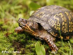 deep eastern box turtle fact sheet
