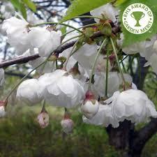 prunus avium plena gean tree buy cherry blossom trees