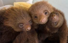 4 toed sloth two toed sloth stock image