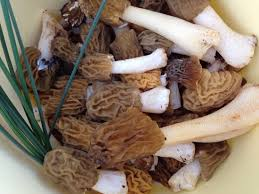 cuisiner les morilles fraiches cueillette de morilles fraîches picture of brasserie la trifolle