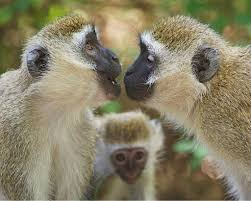 other primates use speech and vocabulary u2013 the human evolution blog