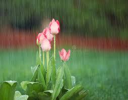blooming flowers blooming flowers in springtime rain stock image image of bright