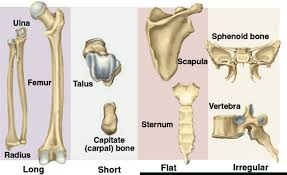 Human Anatomy Flashcards Anatomy Bone Flashcards Anatomy Bone Flashcards Anatomy Bone