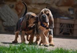 affenpinscher puppies for sale in texas bloodhound puppies for sale akc puppyfinder