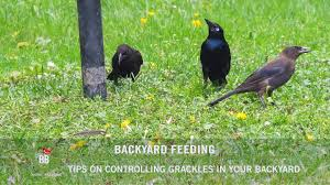 bbn 144 controlling grackles in your backyard youtube