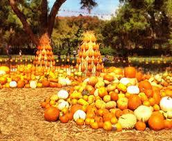 pile field pumpkin pumpkin harvest vegetable